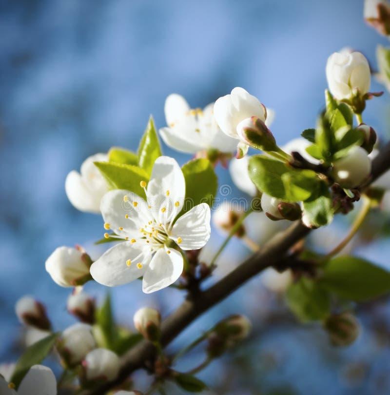 Flores de cereza del resorte foto de archivo