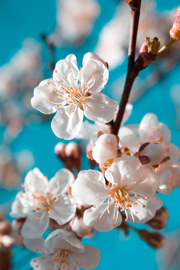 Flores de cereza del resorte fotos de archivo libres de regalías