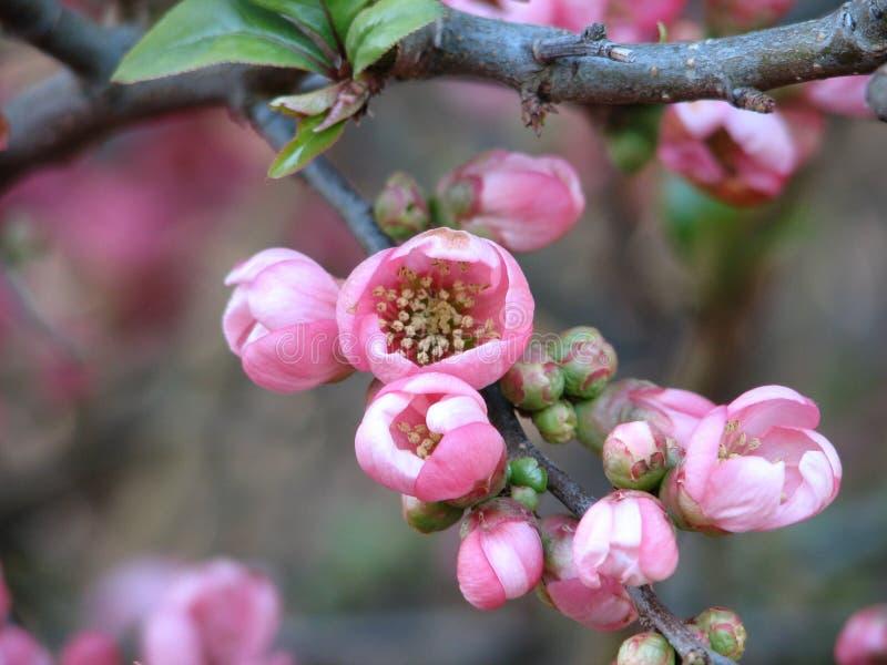 Flores de cereza en la isla de Vancouver imágenes de archivo libres de regalías