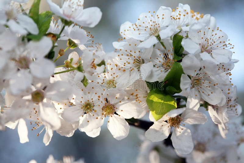 Flores de cereza en la ramificación foto de archivo