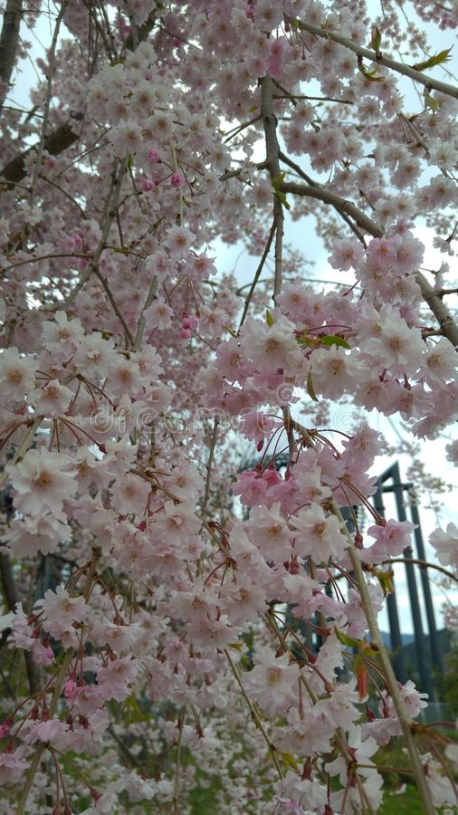 Flores de cereza hermosos foto de archivo