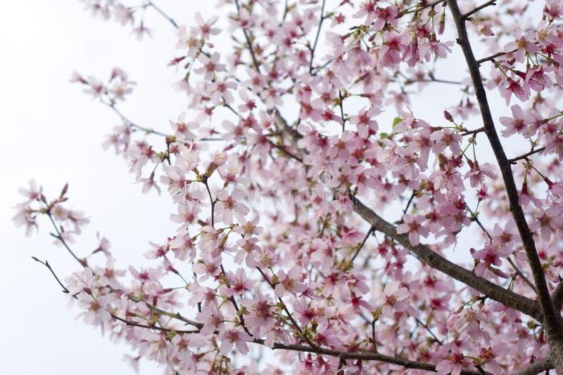 Flores de cereza rosados imagen de archivo
