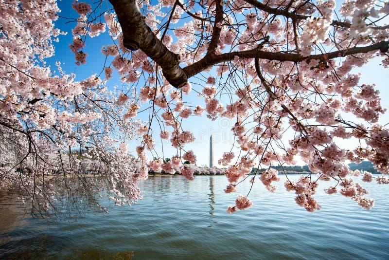 Flores de cerezo alrededor de Washington Monument foto de archivo