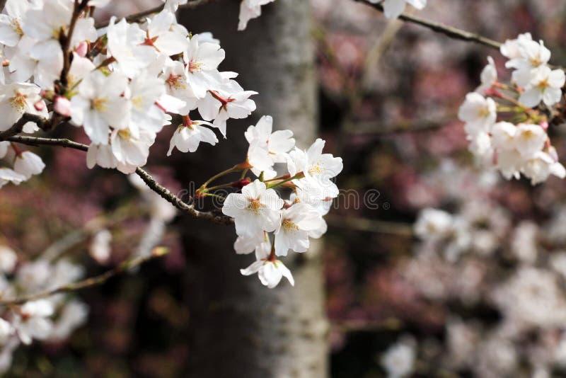 Flores de cerezo, belleza, Sun, flor, natural, Niza, paisaje, viaje imagen de archivo