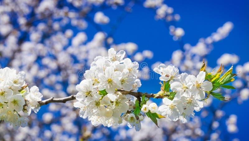 Flores de cerezo, cerezo imágenes de archivo libres de regalías