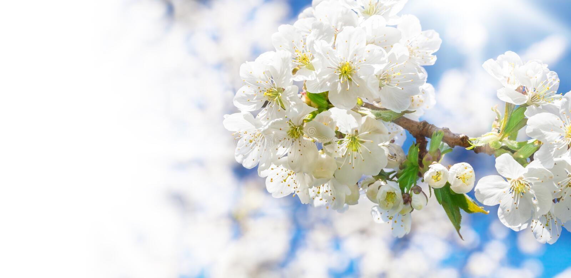 Flores de cerezo, cerezo fotografía de archivo