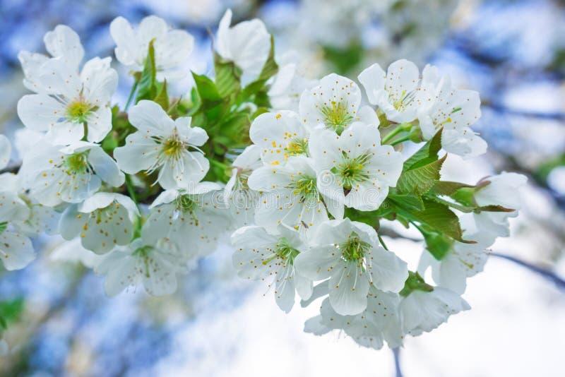 Flores de cerezo, cerezo foto de archivo