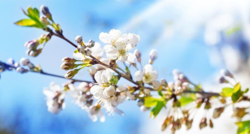 Flores de cerezo, cerezo fotos de archivo