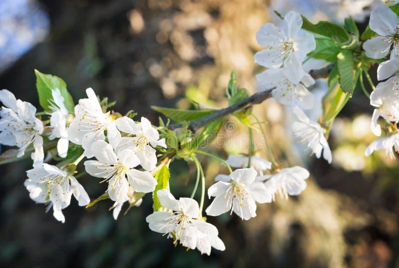 Flores de cerezo, cerezo imagen de archivo