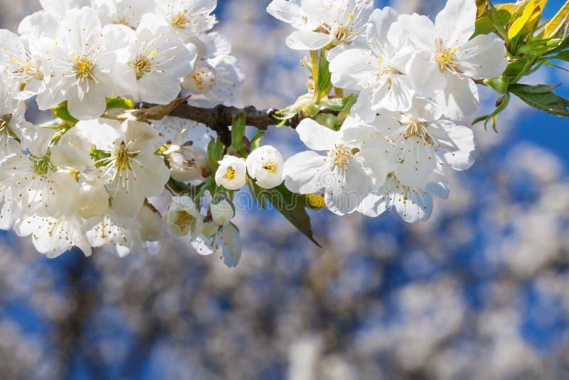 Flores de cerezo, cerezo fotos de archivo libres de regalías