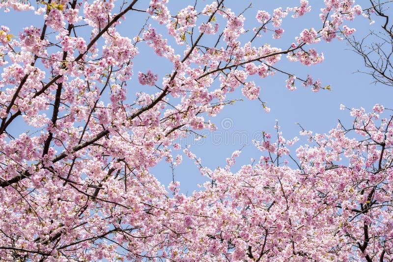 Download Flores De Cerezo Debajo Del Cielo Foto de archivo - Imagen de temprano, fine: 64203086