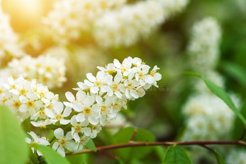 Flores de cerezo del p?jaro imagenes de archivo