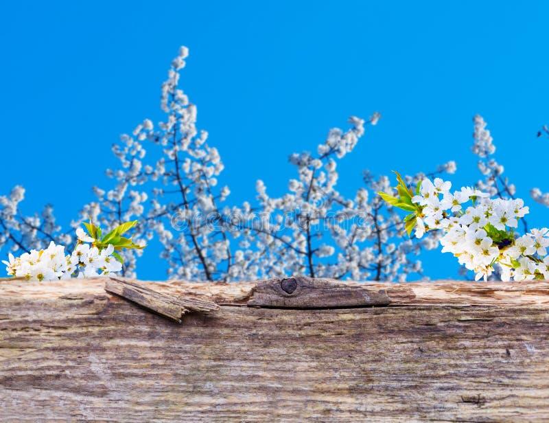 Flores de cerezo detrás del tablero de madera fotografía de archivo