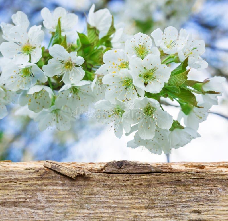 Flores de cerezo detrás del tablero de madera imagenes de archivo