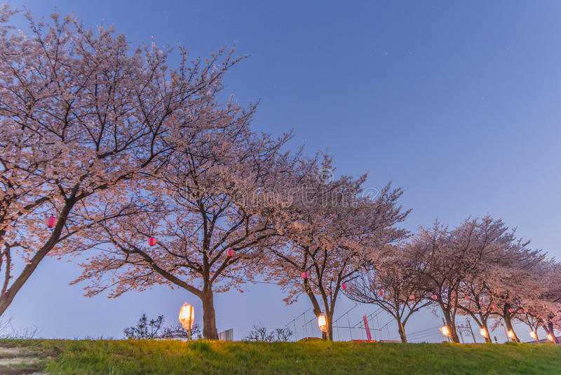 Flores de cerezo en la noche imágenes de archivo libres de regalías