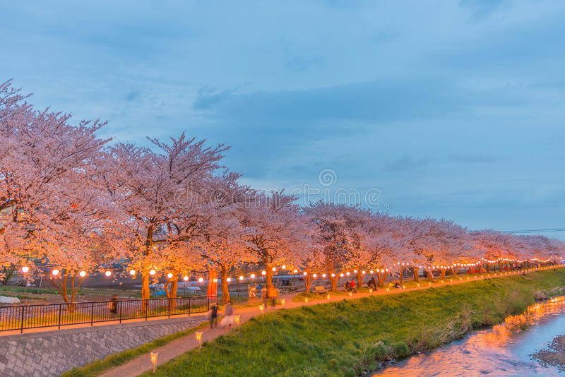Flores de cerezo en la noche fotografía de archivo