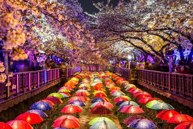 Flores de cerezo en la noche en Busán, Corea del Sur imagen de archivo