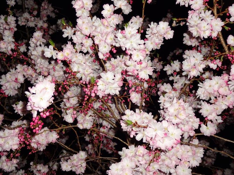 Flores de cerezo en la noche fotos de archivo