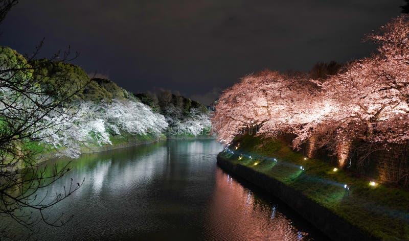 Flores de cerezo en la noche imagen de archivo