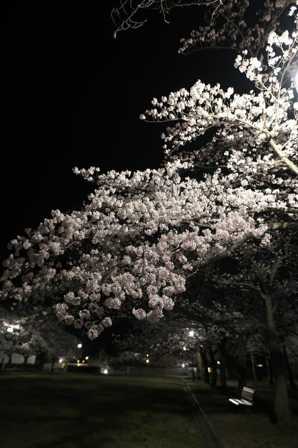 Flores de cerezo en la plena floración en un parque en la noche en Tokio imagenes de archivo