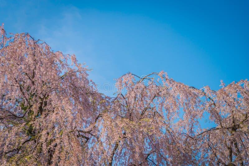 Flores de cerezo en primavera en el castillo de Hirosaki fotografía de archivo libre de regalías