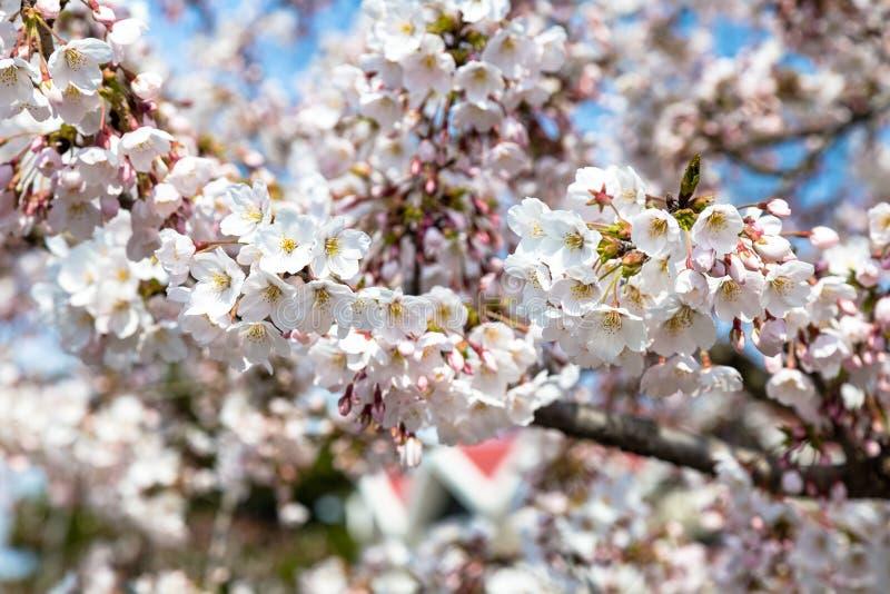 Flores de cerezo florecientes en el parque de Zhongshan en la primavera, Qingdao, China fotografía de archivo