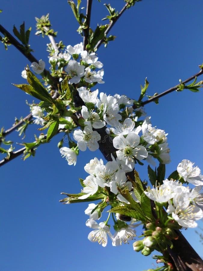 Flores de cerezo hermosas contra el cielo azul fotos de archivo