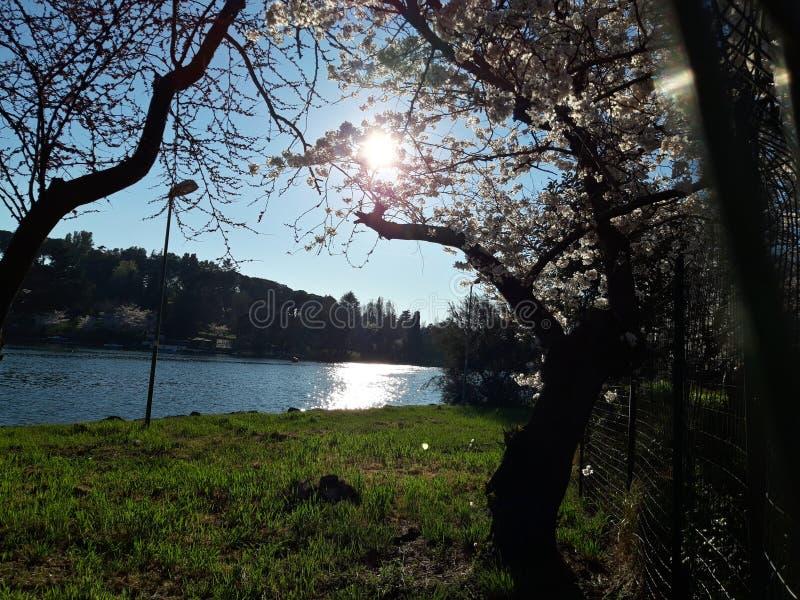 Flores de cerezo japonesas en Roma, pequeño lago eur Día de resorte asoleado imágenes de archivo libres de regalías