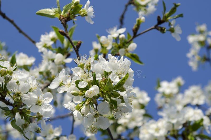 Flores de cerezo jovenes en el jardín de la primavera contra el cielo azul imagen de archivo libre de regalías
