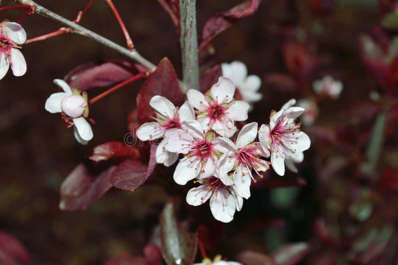 Flores de cerezo de la arena de Purpleleaf macras imagen de archivo