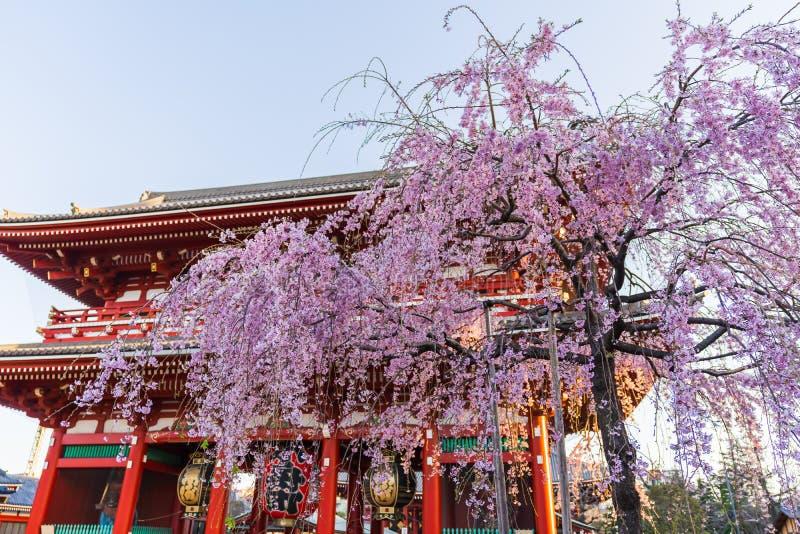 Flores de cerezo de la primavera en el templo de Sensoji, Tokio, Jap?n imagen de archivo libre de regalías