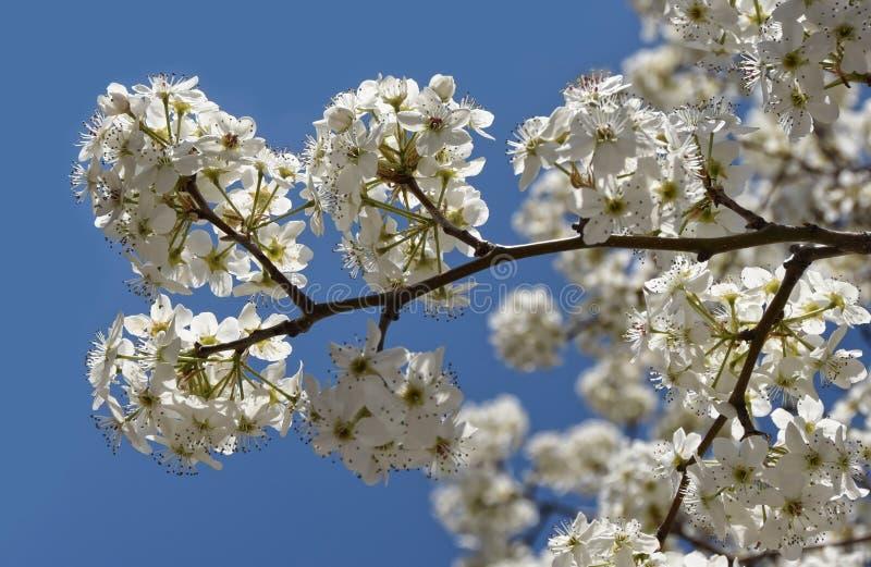 Flores de cerezo de la primavera en una ramita fotografía de archivo