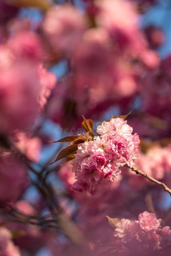 Flores de cerezo rosa sakura foto de archivo