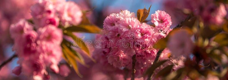 Flores de cerezo rosa sakura imagenes de archivo