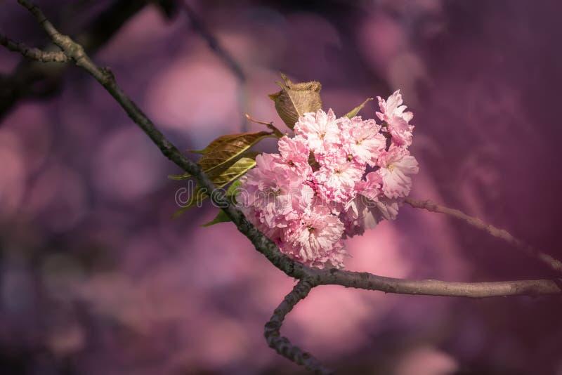 Flores de cerezo rosa sakura fotografía de archivo libre de regalías