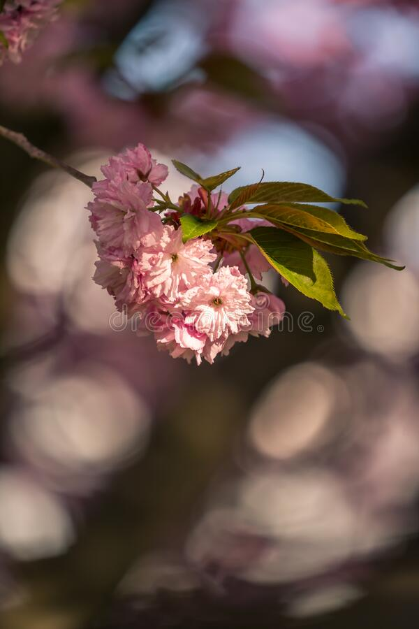 Flores de cerezo rosa sakura imágenes de archivo libres de regalías