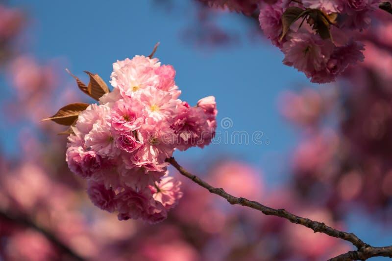 Flores de cerezo rosa sakura imagen de archivo libre de regalías