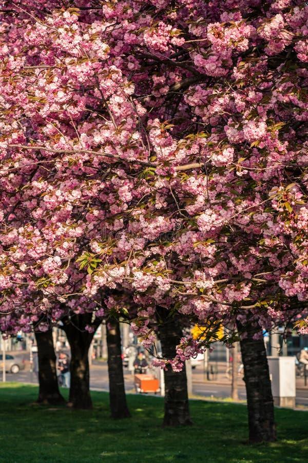 Flores de cerezo rosa sakura foto de archivo libre de regalías