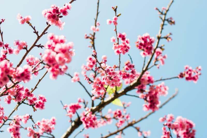 Flores de cerezo rosadas hermosas en jardín fotos de archivo