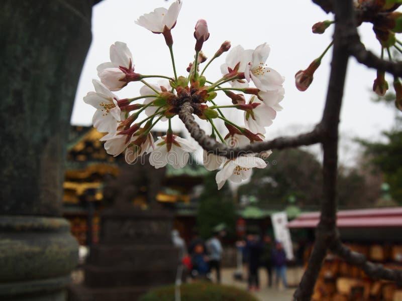 Flores de cerezo de Yoshino en la capilla de Toshogu del parque de Ueno fotografía de archivo libre de regalías