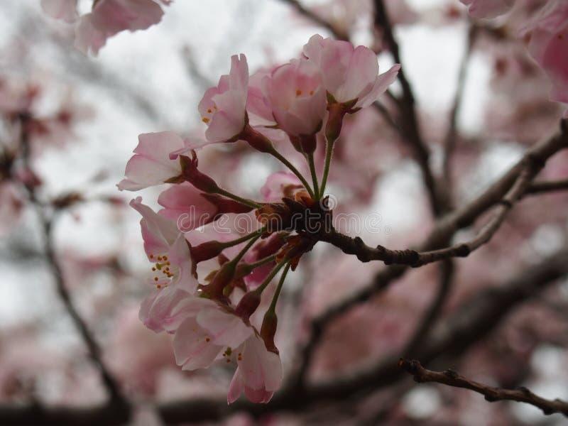 Flores de cerezo de Yoshino en la capilla de Toshogu del parque de Ueno imagenes de archivo