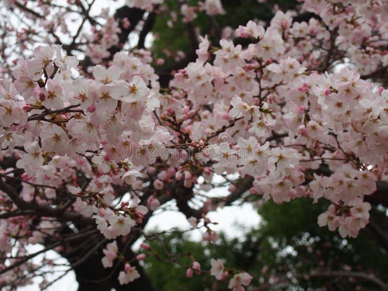 Flores de cerezo de Yoshino en la capilla de Toshogu del parque de Ueno imágenes de archivo libres de regalías