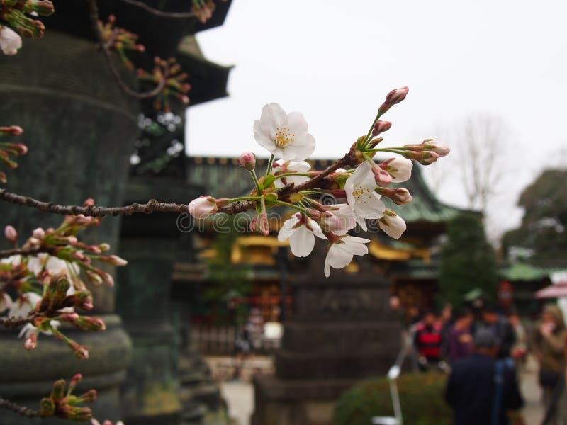 Flores de cerezo de Yoshino en la capilla de Toshogu del parque de Ueno imagen de archivo