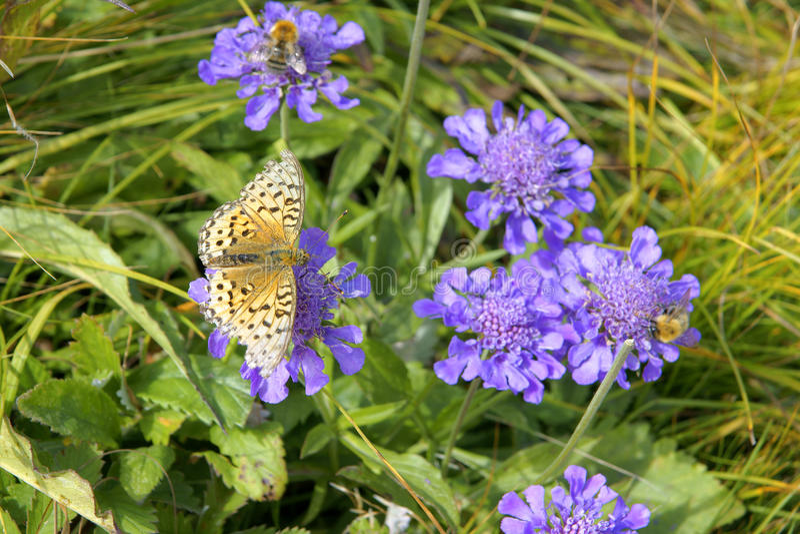 Flores de China Bluebasin imagens de stock