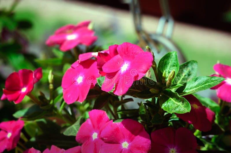 Flores de color rosa oscuro del bígaro en el jardín del verano fotografía de archivo