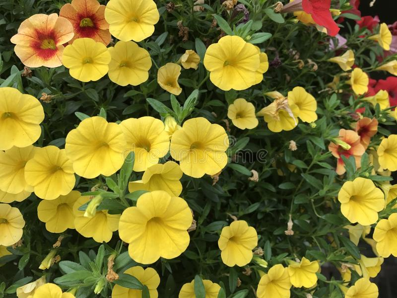 Flores de Colorado fotos de stock