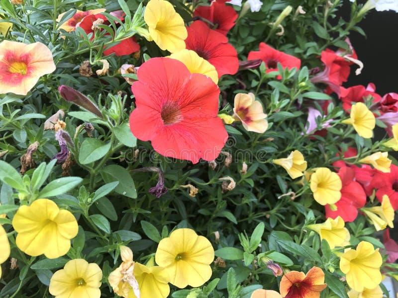 Flores de Colorado foto de stock royalty free