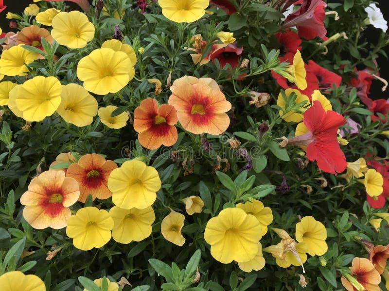 Flores de Colorado fotografia de stock royalty free