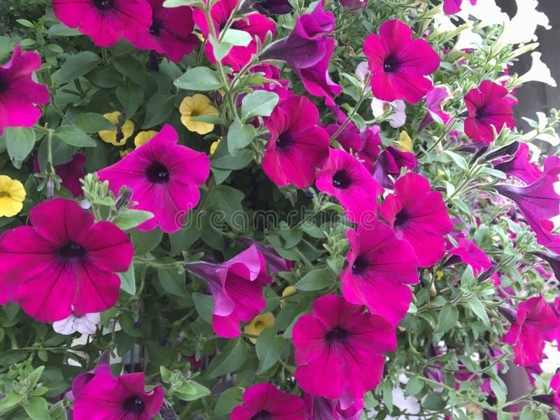 Flores de Colorado imagens de stock royalty free