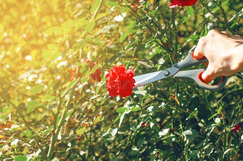 Flores de corte do jardineiro da mulher imagens de stock royalty free